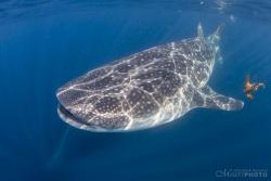 WhaleSharks-8