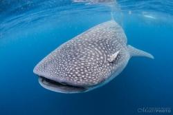 WhaleSharks-9