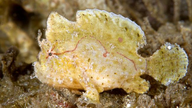 DwarfFrogfish.jpg