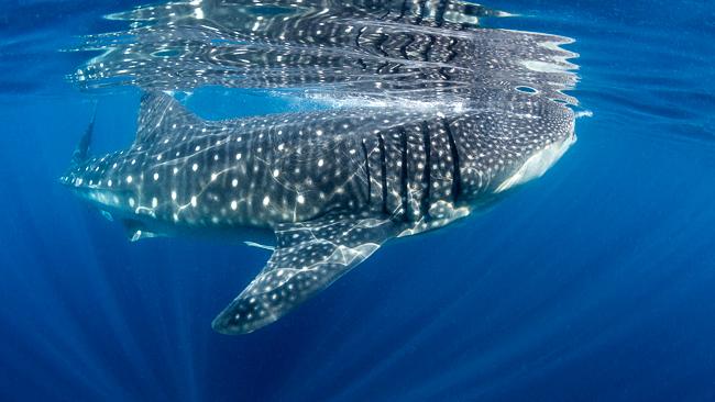 WhaleShark071313-59251.jpg