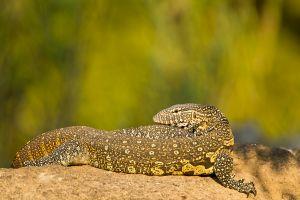 Sunning Monitor Lizard