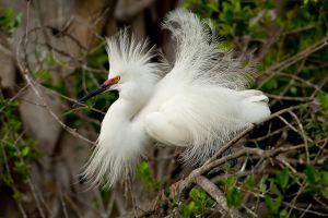 Snowy Egret displaying
