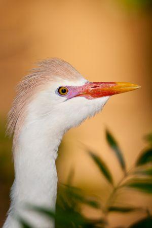 Cattle Egret in full breeding plumage