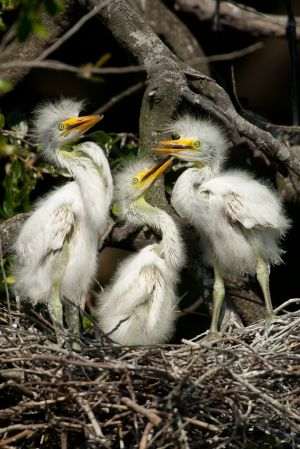 Great Egret chicks waiting to be fed